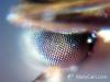 Augen einer Ameise